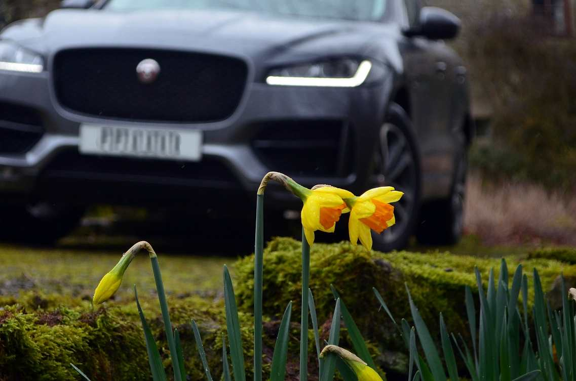 daffodils and f-pace.jpg